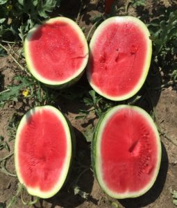 Cover photo for Chowan Co. Watermelon Variety Demonstration Trial