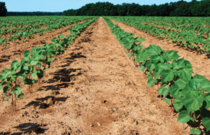 Cover photo for Cotton Planting Conditions (May 11-15, 2020)
