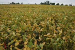 Cover photo for Soybean Rust Confirmed in Eastern NC October 19, 2020